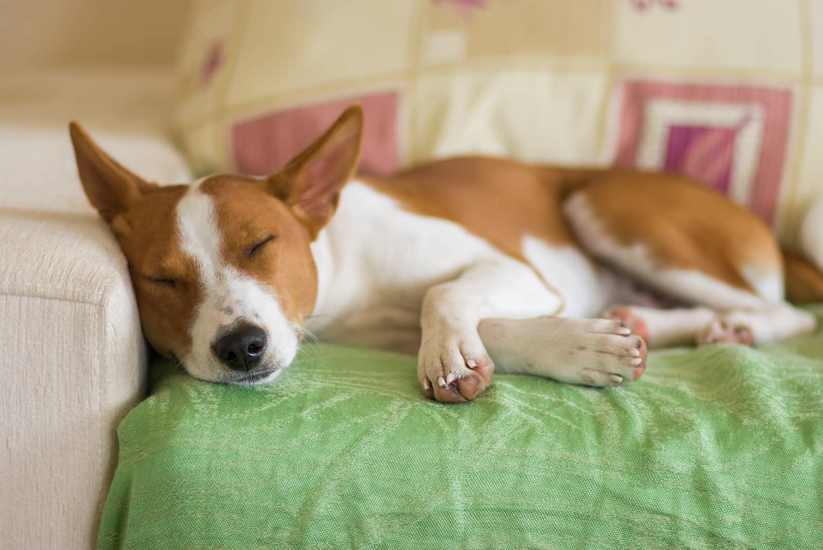 Young Basenji dog sleeping on a sofa covered in a green blanket