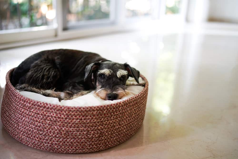 Black miniature schnauzer lying down on dog bed basket
