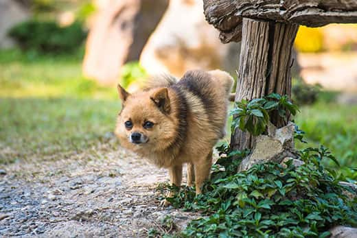 Small fluffy dog urinating on wooden post