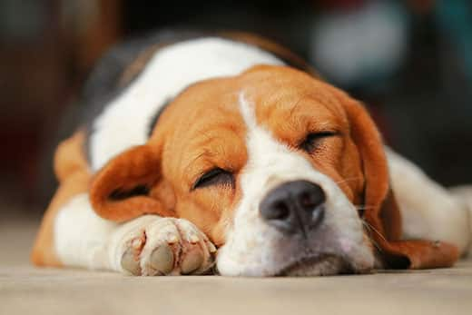 Close-up of a beagle sleeping.