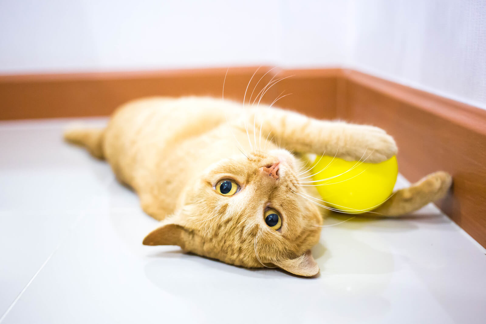 橘色虎斑幼貓躺在地板上玩黃色的球Orange tabby kitten lying down playing with yellow ball on floor